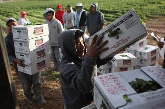Mexican migrant workers load boxes of organic cilantro during the fall harvest.
