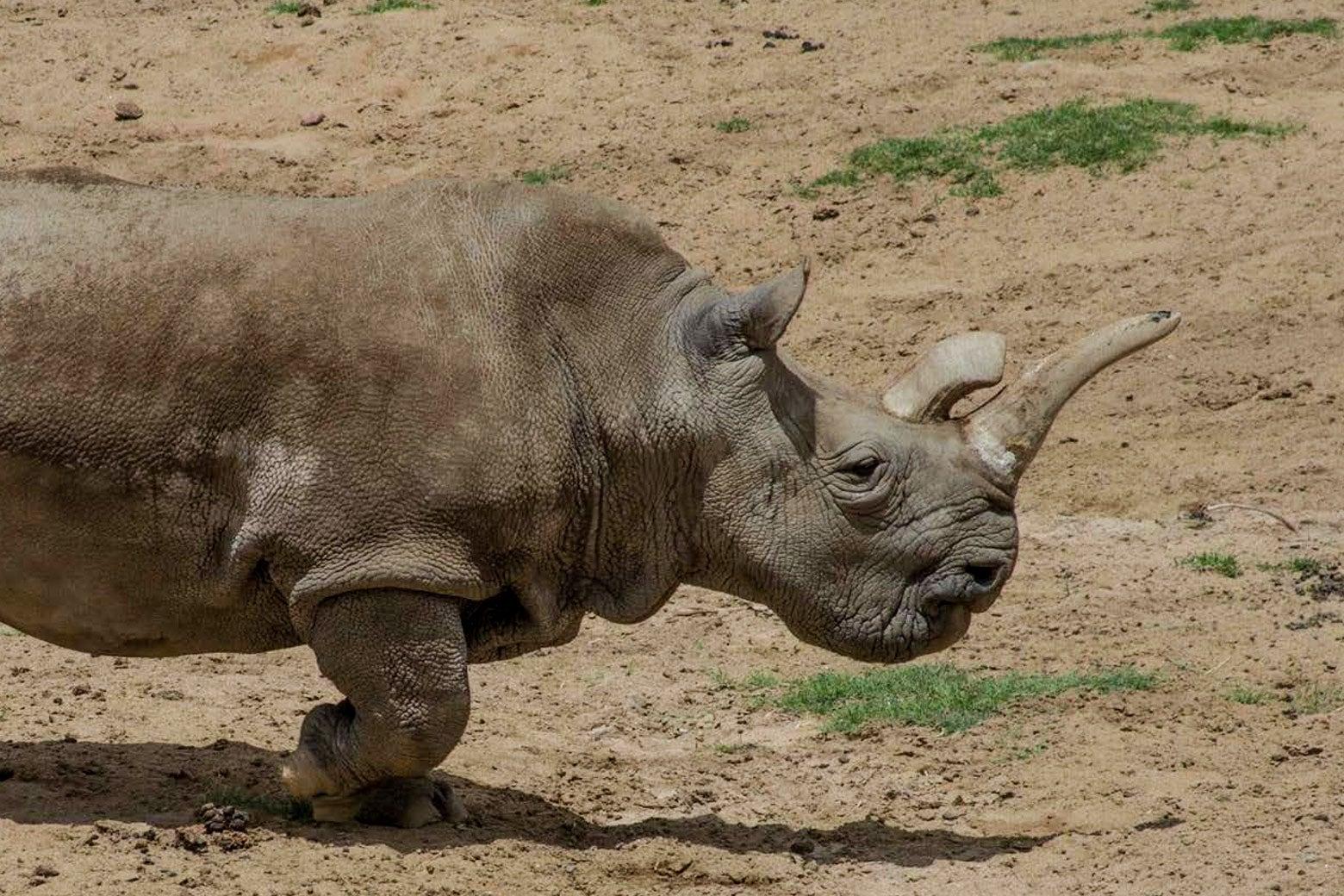Nola the rhino.
