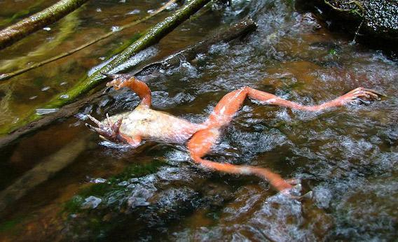 A chytrid-infected frog.
