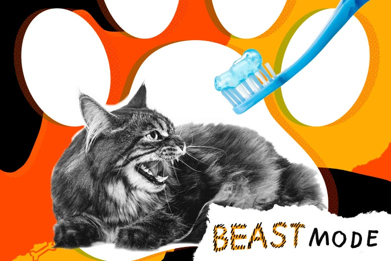 A cat hissing at an approaching toothbrush.