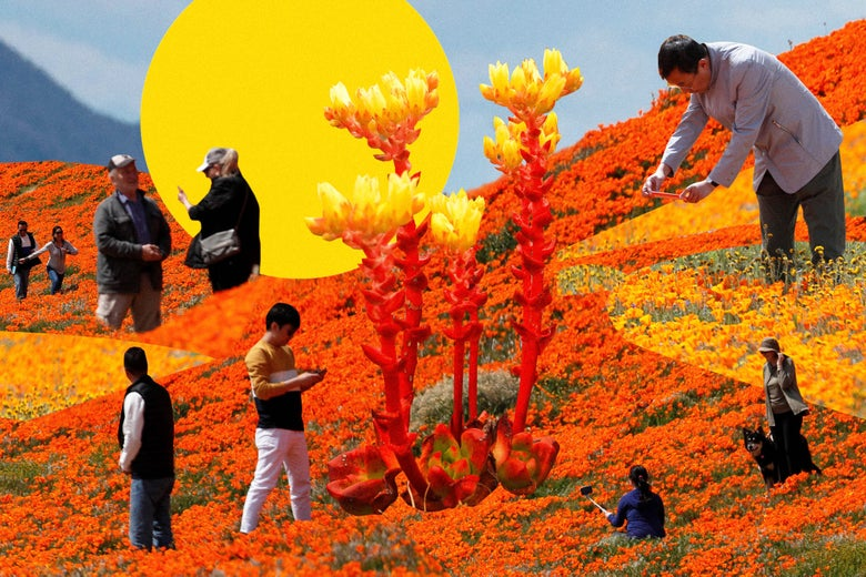 Collage of people walking around through a field of poppies and rare succulents taking photos with their smartphones.