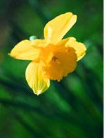 Daffodil. Click image to expand.