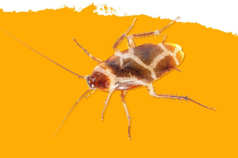 Photo illustration of a giraffe ... or a cockroach.