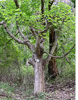 A sugar maple tree          Click image to expand.