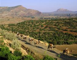 EASTERN TIGRAY, Ethiopia—Afar camel caravan carrying salt from the Danakil Depression to Mekele. Click image to expand.