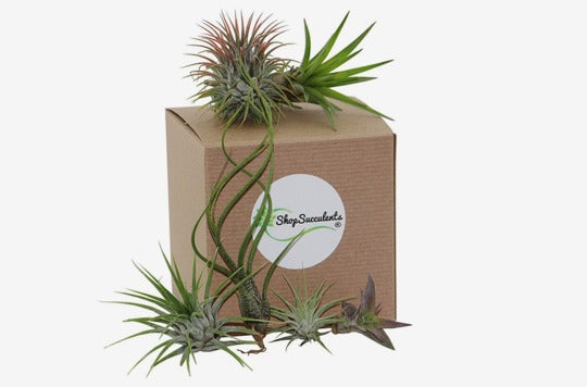 Shop Succulents Assorted Air Plants (Collection of 8).