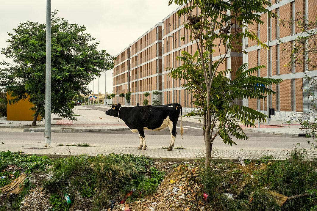 JEREZ, SPAIN - OCTOBER 27, 2012: a cow stands on a walkside of a newly built dormitory suburb in the outskirts of Jerez, a city that illustrates everything that went wrong in Spain: rapid growth based on seemingly limitless borrowing, which produced a glut of houses and office space that nobody wants, right where the city abruptly ends. This mid-sized city of 212,000 people owes one billion euros. Unemployment in Jerez is around 34 percent.