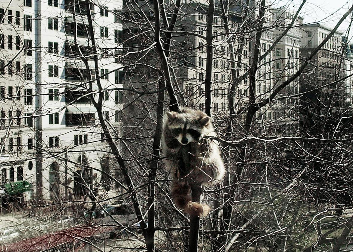 A racoon holds on to a tree high above McPherson Square 22 February 2000 in Washington, DC.