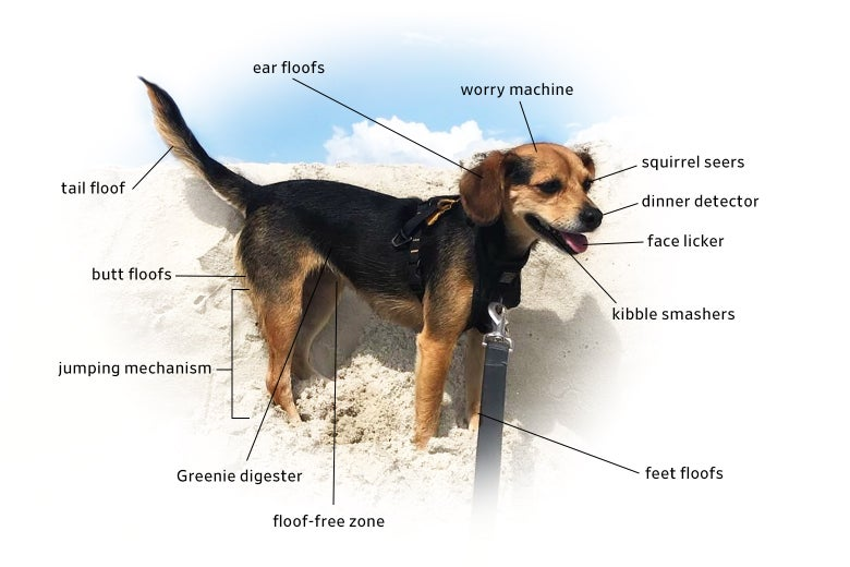 A beagle mix photo by @shanpalus labeled with unscientific terms.