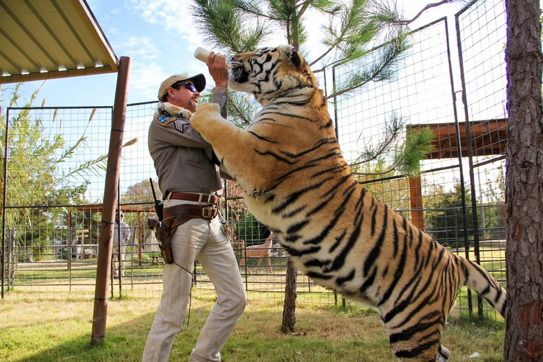 Joe Exotic feeding a tiger with a baby bottle, the tiger putting a paw up on his shoulder