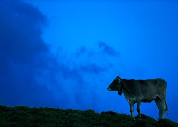 A cow is pictured in the late evening light on July 28, 2013 around Sesvenna Alpe near Malles Venosta/Mals, Italy.