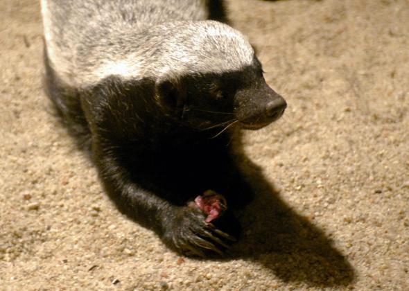 Honey badger venom resistance: biologists discover the secret