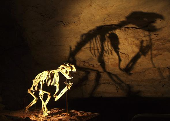 Reconstructed Thylacoleo Skeleton in the Victoria Fossil Cave of the Naracoorte Caves