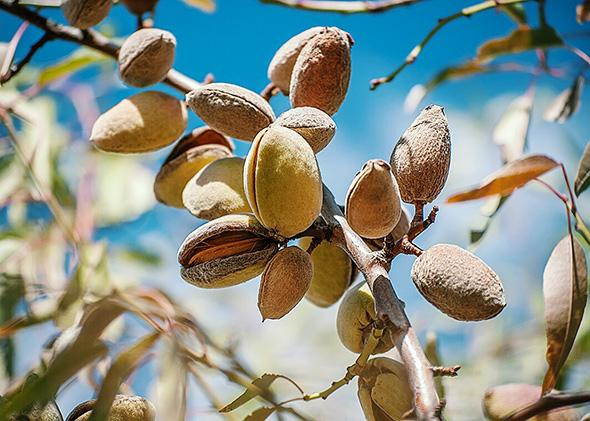 Ripening almonds at an almond farm.