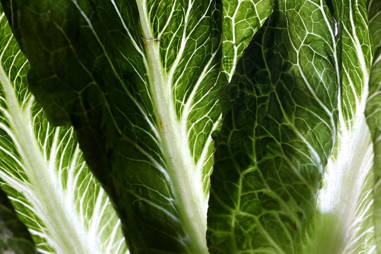 A close-up detail of romaine lettuce.