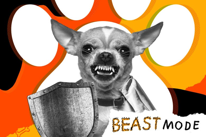 A Chihuahua baring its teeth and holding a shield.