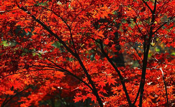 Red maple leaves.