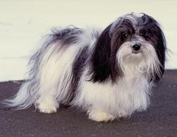A Havanese. Click image to expand.