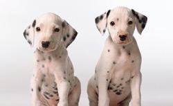 Dalmatians. Click image to expand.