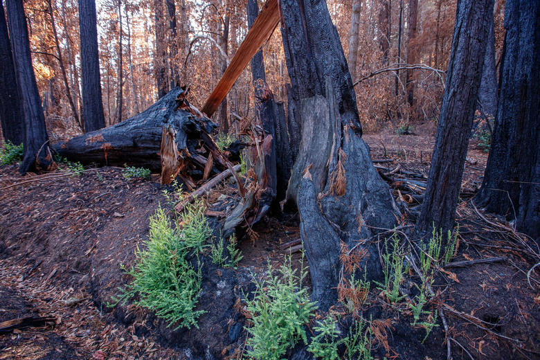 New trees grow from the burned out trunk of a redwood on the forest floor