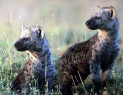 Hyenas at the Masai Mara National Reserve.