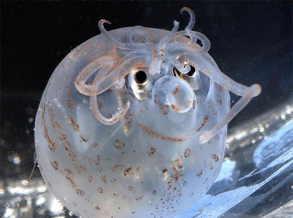 Piglet Squid.