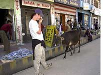 Seth and the holy cow, which steals veggies from street vendors, roaming the streets