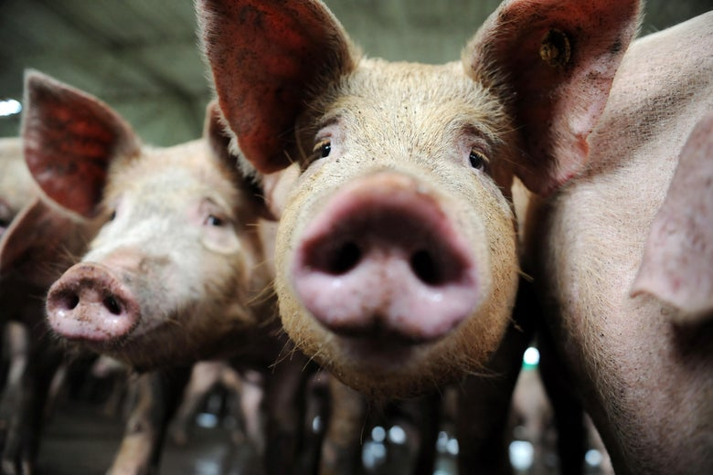 A couple of pigs are seen up close.