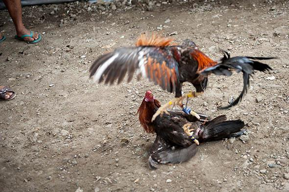 Fighting cocks jump at each other, kicking out with the curved knives attached to their feet at San Andres Bukid.