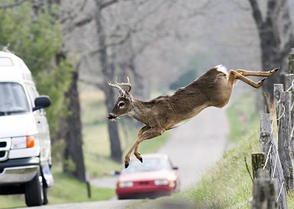 White-tailed deer jumps a fence into a roadway