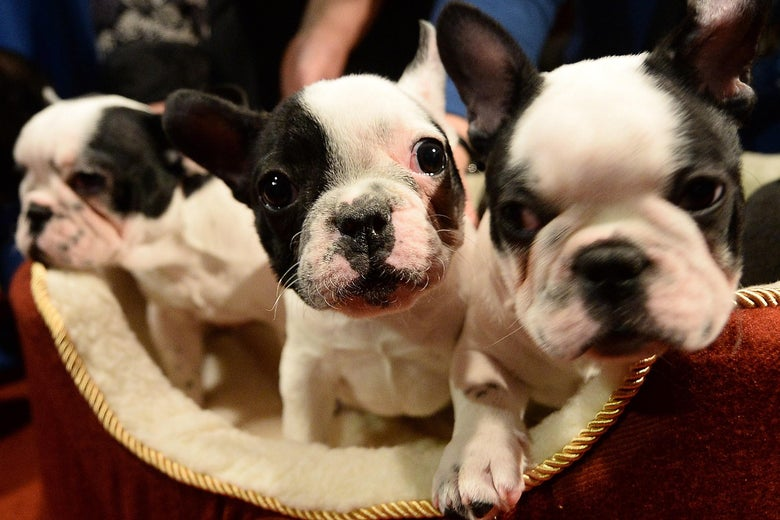 Three black-and-white French bulldog puppies in a dog bed.