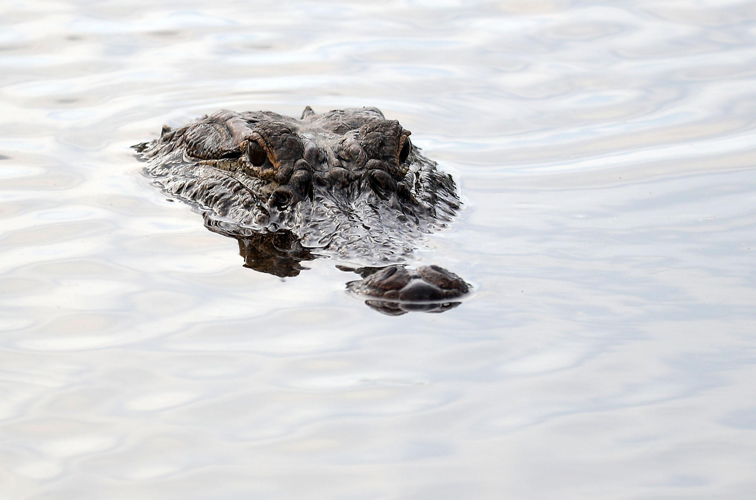 The top of the head of an alligator is just visible above water
