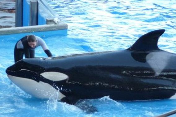 Orca whale and unidentified trainer at Sea World, Orlando, Florida.