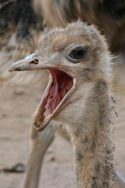 Ostrich. Click image to expand.