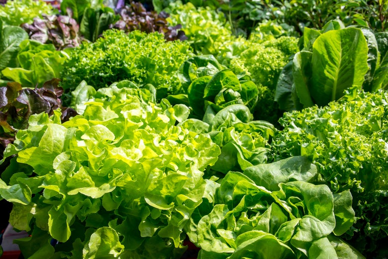 A field of various lettuces.