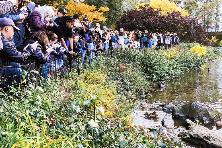 A crowd of people gathered to observe the mandarin duck in Central Park.