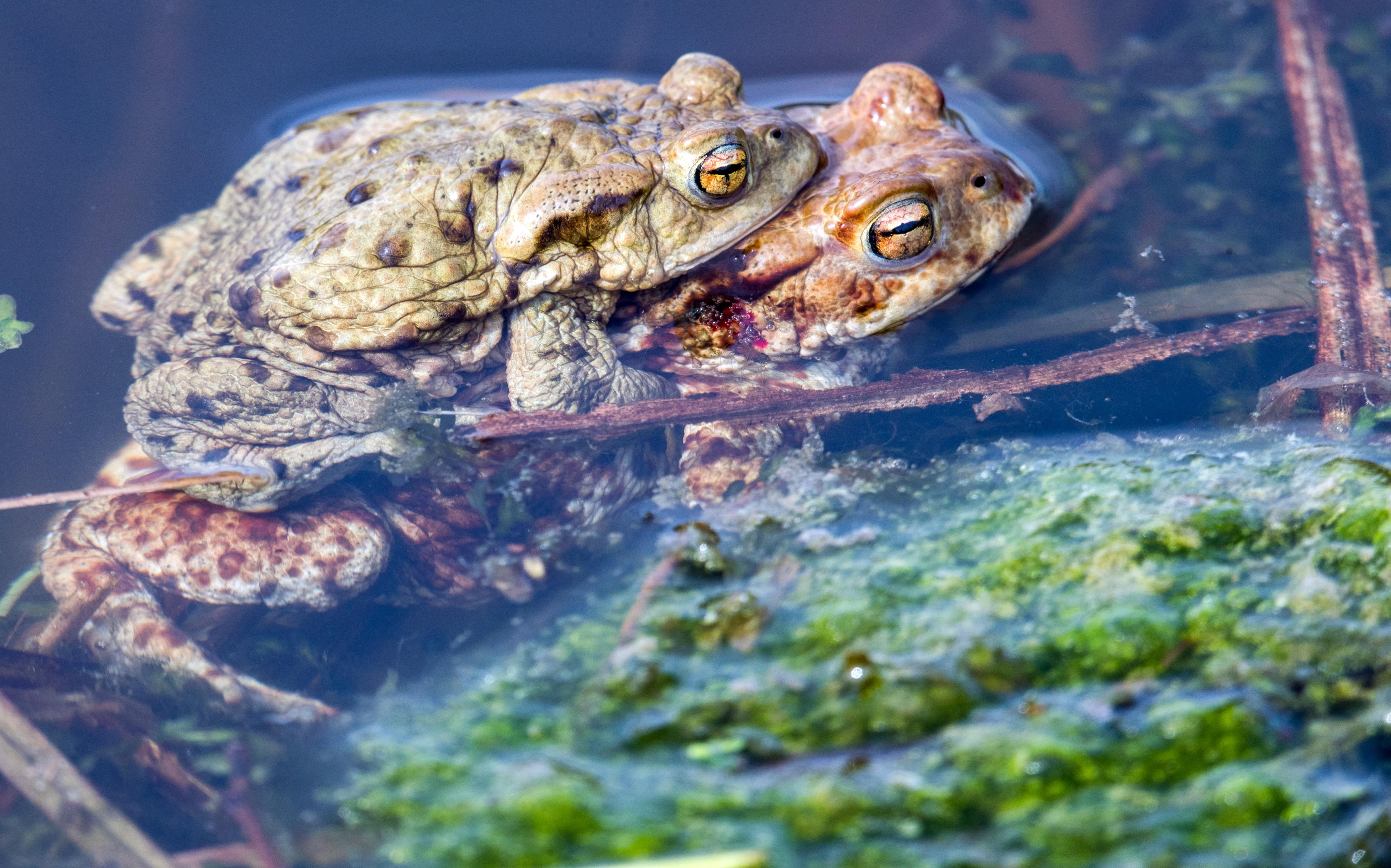 Common toads mate in a pond.