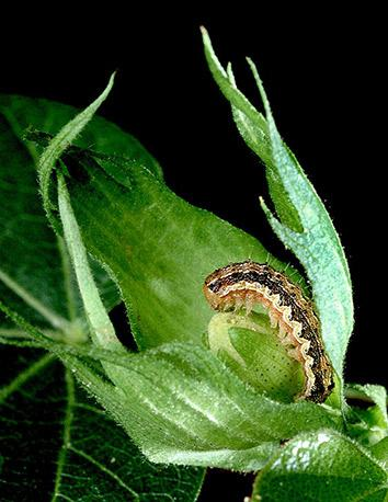 The cotton bollworm is one of many costly crop pests.