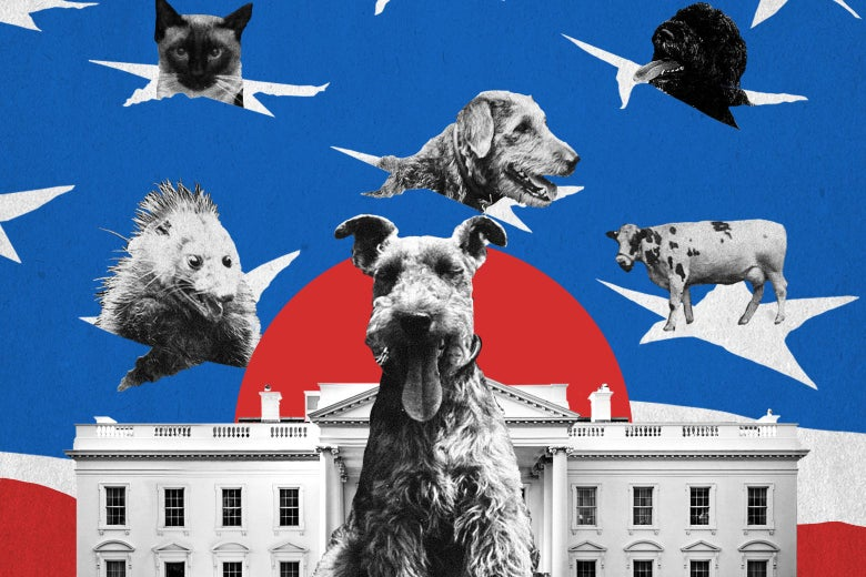 Some dogs, a cat, a possum, and a cow superimposed over a photo of the White House.