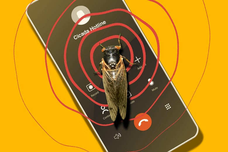 """A cicada sits on a smartphone dialed to """"Cicada Hotline."""" Red circles indicating song ripple out from the cicada."""