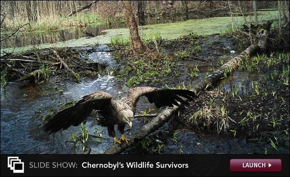 Wildlife In Chernobyl Debate Over Mutations And Populations Of