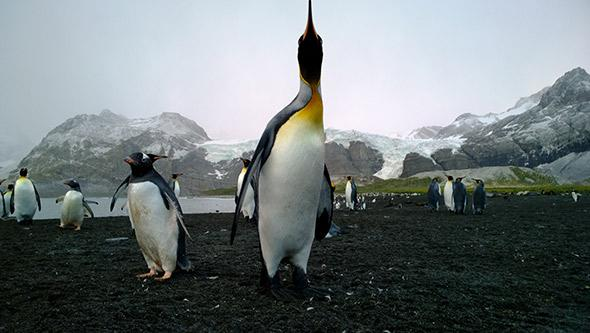 There are hundreds of thousands of penguins on South Georgia of the sort that provided much needed protein to Shackleton.