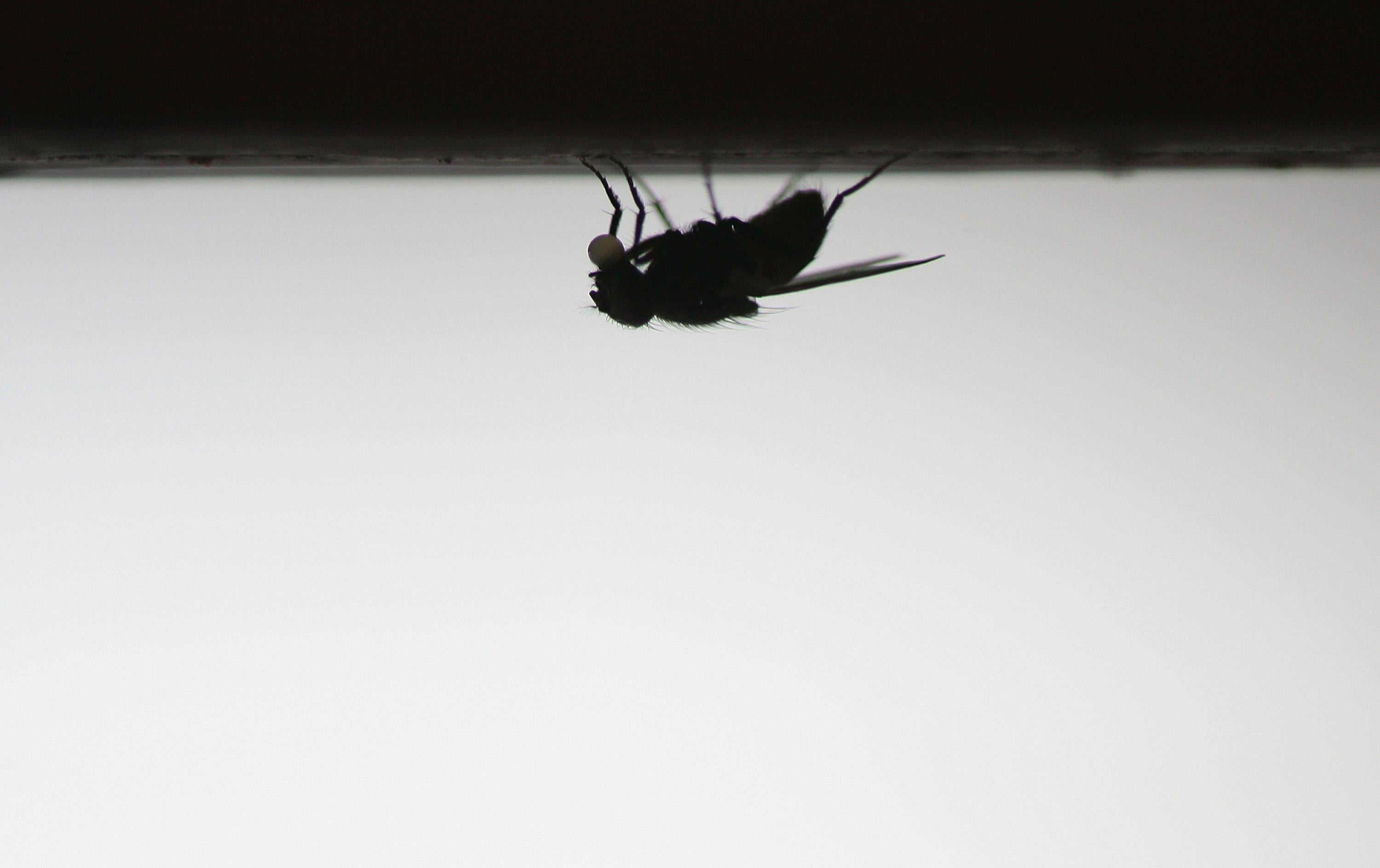 A housefly seen upside down.