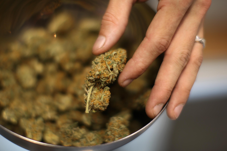 A man shows a type of marijuana at a farm.