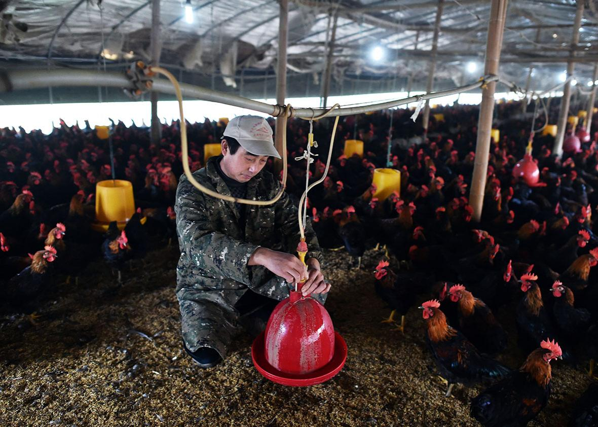 A worker checks a water bowl at a poultry farm in Hefei, in eastern China's Anhui province, on Nov. 20.