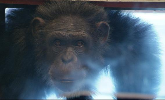 A chimp at the Cognitive Evolution Group research center of New Iberia, La., as seen in Surviving Progress.