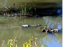 A 14-foot alligator mimes a log in bayou country