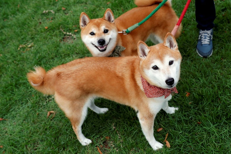 Two smiling shiba inus on leashes stand on grass