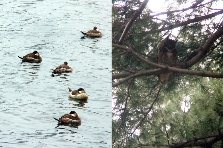 Side-by-side photos of ruddy ducks and a great horned owl.