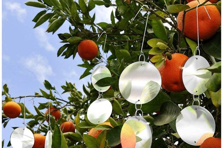 De-Bird repellant disks on a fruit tree.
